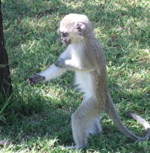 Madikwe Park - Scimmiette