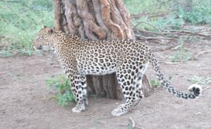 Madikwe Park - Leopardo